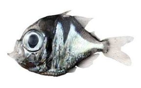 The new species of fish, Polyipnus Laruei, which was discovered off New Caledonia.