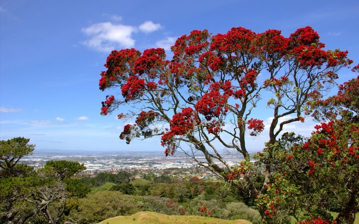 The Aussies are saying the New Zealand Christmas Tree, Pōhutukawa, may have originated in Australia.