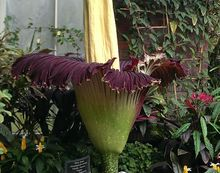 The Titan arum flower had opened fully on Sunday.
