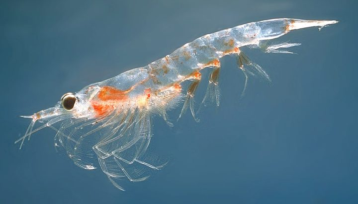 Krill, a common type of plankton