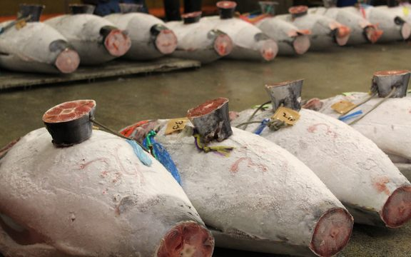 Finless and tailess frozen tuna lined up on the floro for sale. A defrosted cross- section of tail sits on top for  buyers to inspect meat quality