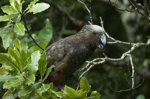 The kaka is one of the birds likely to cause problems in urban areas.