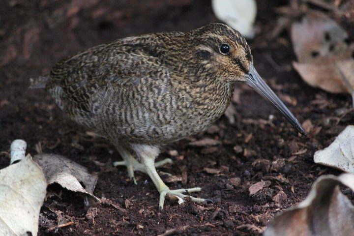 A tutukiwi or Snares Island snipe.