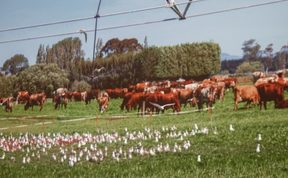 Black billed gulls oblivious to the cows grazing nearby and the odd shower from a pivot irrigator.