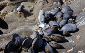 Paua, mussels and kina are at risk.