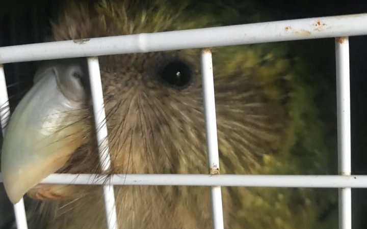 One of the kākāpō, Tiaka, in her crate as she waits to be relocated.