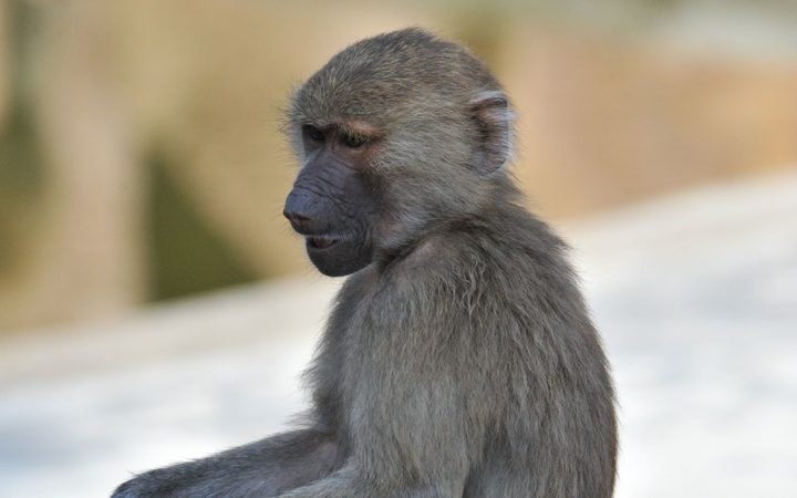 Baboon Causes Blackout In Zambia's Livinstone