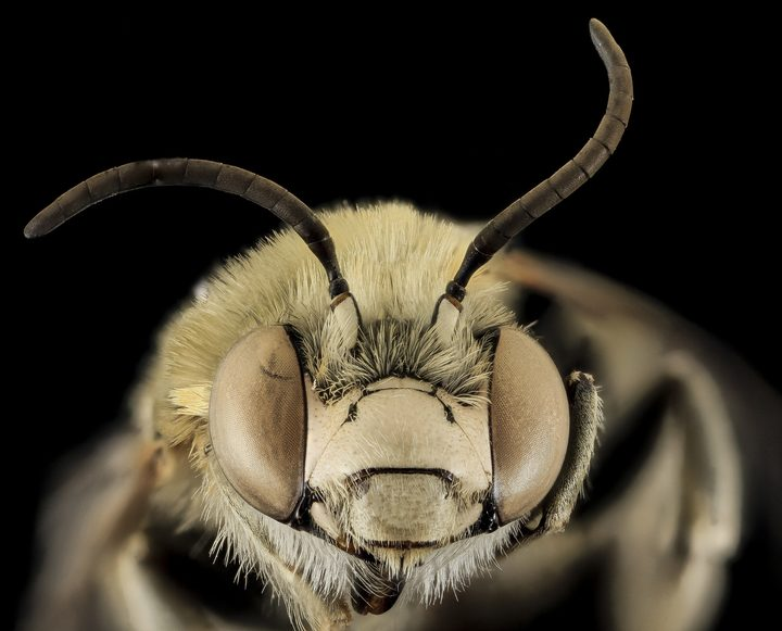A close up of a bee's head and antennae