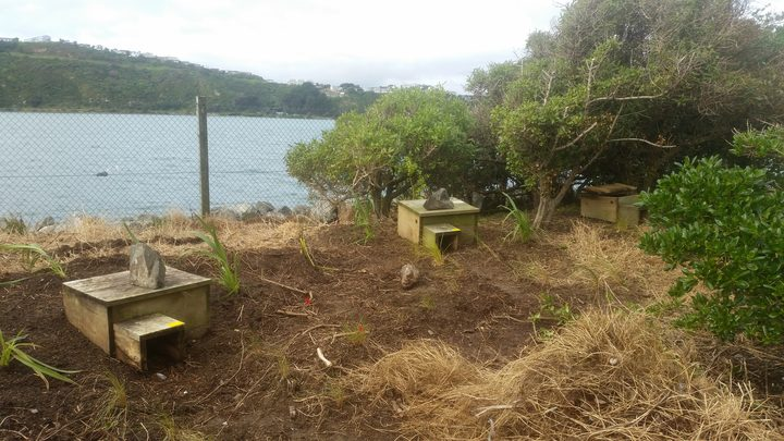 Some of the 20 nest boxes for little blue penguins at the Days Bay Penguin Haven.