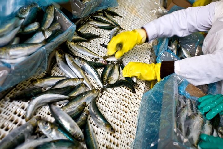 Factory worker sorting fish.