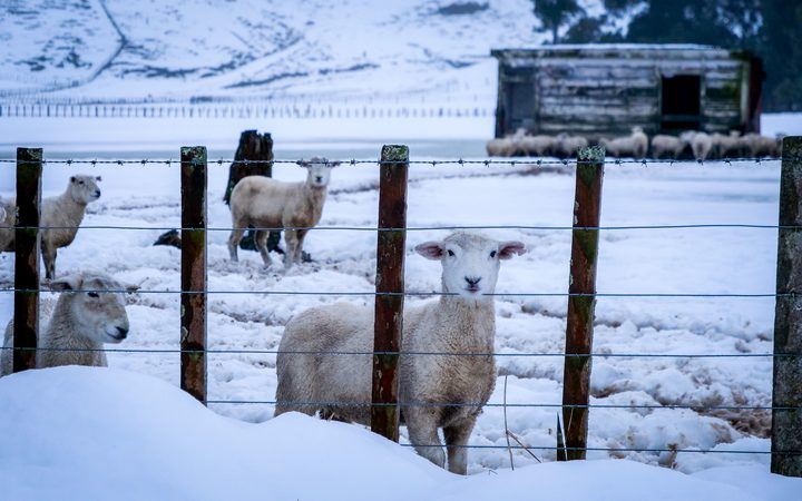 Sheep in the snow.