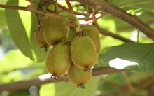 Kiwifruit on a vine.