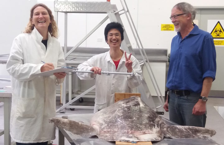 (L to R) Marianne Nyegaard (Murdoch University, Australia); Etsuro Sawai (Hiroshima University) and Andrew Stewart (Te Papa) examining the new sunfish permanently housed in the National Fishes Collection at Te Papa.