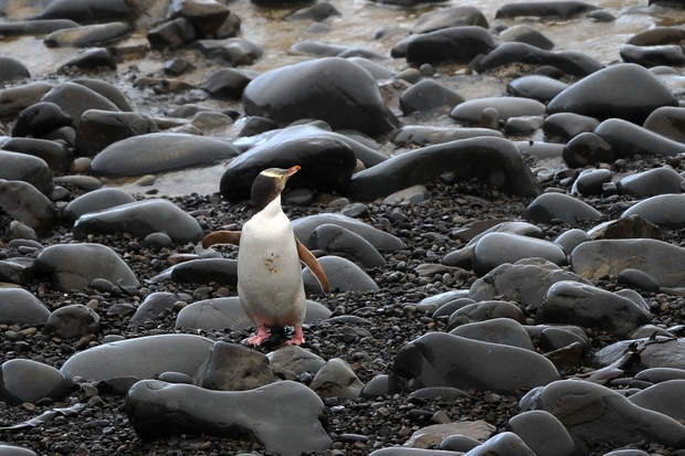 The yellow-eyed penguin.
