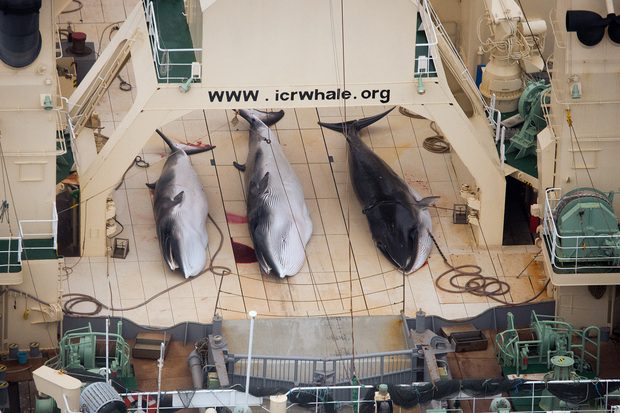 Minke whales on the deck of the Nisshin Maru in the Southern Ocean.