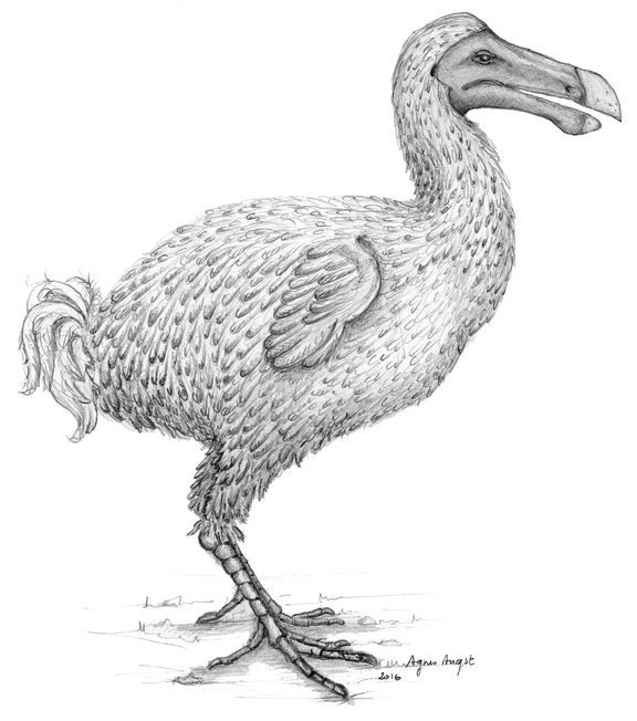 A reconstruction of the extinct dodo bird, by a team at the University of Cape Town.
