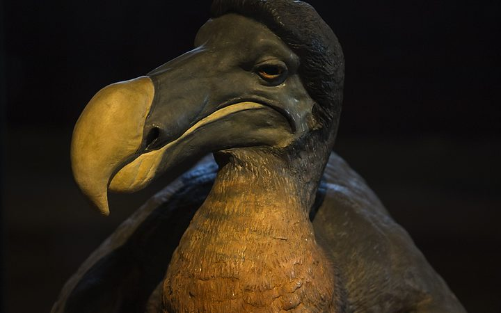 A stuffed dodo at the Museum of Natural History in Paris.