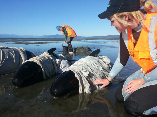 Volunteers care for stranded whales on Farewell Spit.
