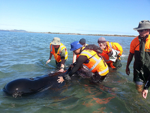 DoC rangers and volunteers re-float a whale at Farewell Spit.