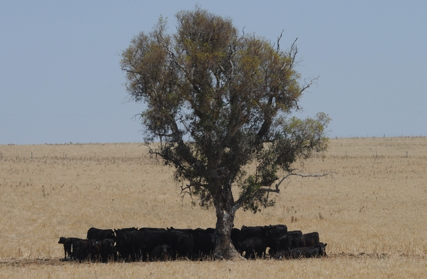 Cattle seek relief from the Australian sun as temperatures edge towards 40 degrees.
