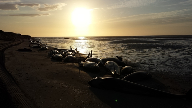 Pilot whales stranded on Farewell Spit early Sunday morning.