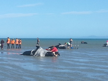Volunteers helping whales which stranded again on Sunday afternoon.