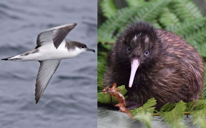 Chris Gaskin would like to see the Buller's shearwater (left) replace the kiwi as New Zealand's national symbol.