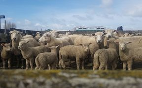 Ewes are being sold with new season lambs fetching up to $170 at sales.