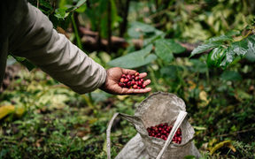 Harvesting of coffee cherry - Eastern Highlands, PNG.
