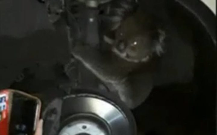 The koala was found sitting in the wheelwell of the 4WD, riding on the axle.