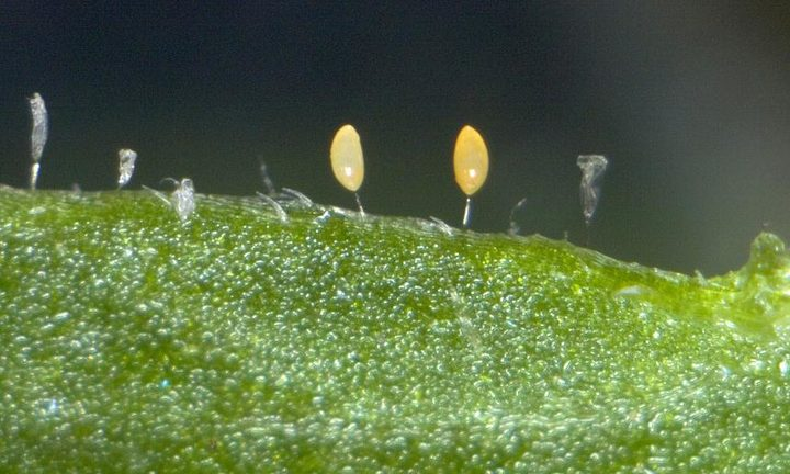 Tomato potato psyllid, Bactericera cockerelli (Hemiptera: Triozidae), eggs inserted in to plant leaf, note the empty egg shells