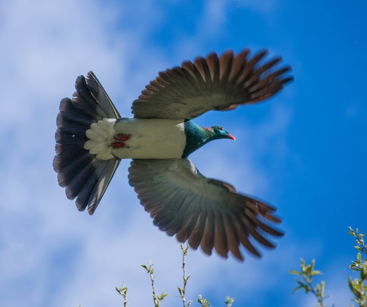 Kereru in flight.