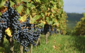 grapes, wine generic, grapes generic, vineyard