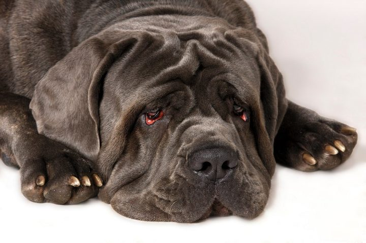 Neapolitan mastiff nz