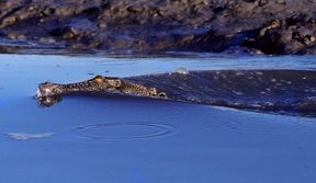 A saltwater crocodile in Kakadu National Park, Northern Territory.