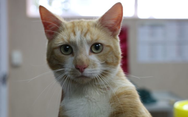 One of the cats being cared for at Auckland SPCA.