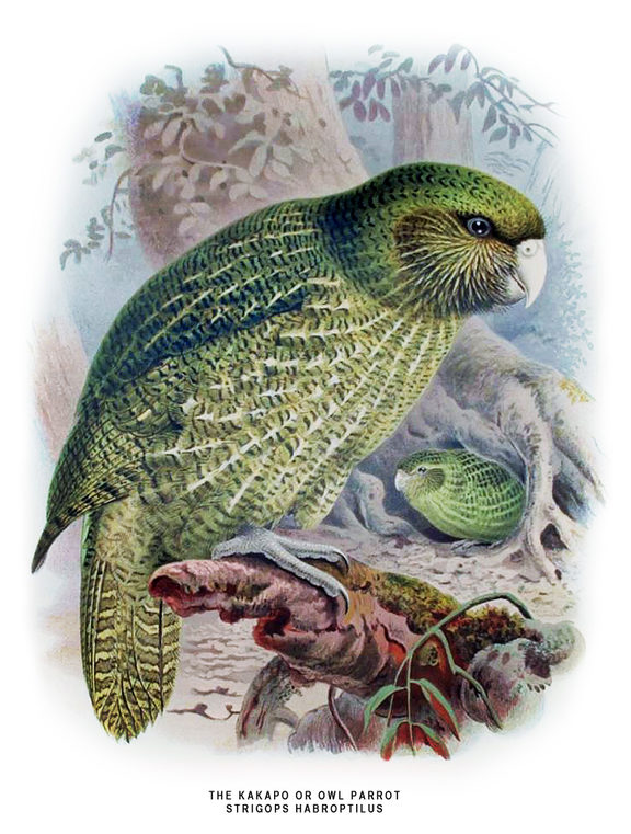 Kakapo illustrated by J. G. Keulemans, in W.L. Buller's A History of the Birds of New Zealand, 1888.