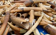 Ivory stockpile in Paris.