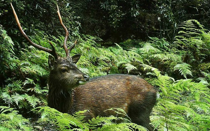 Sika Stag: Anti-1080 Letter Claims Sika Release