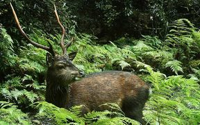 Sika deer are classified as a pest by DoC.