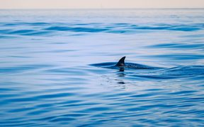 43474222 - fin of a shark in the high sea. outdoor shot