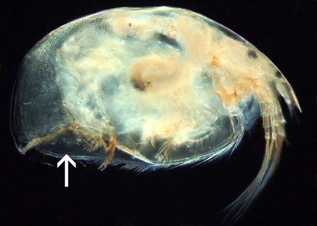 Daphnia is a small crustacean that is part of the zooplankton of freshwater lakes.