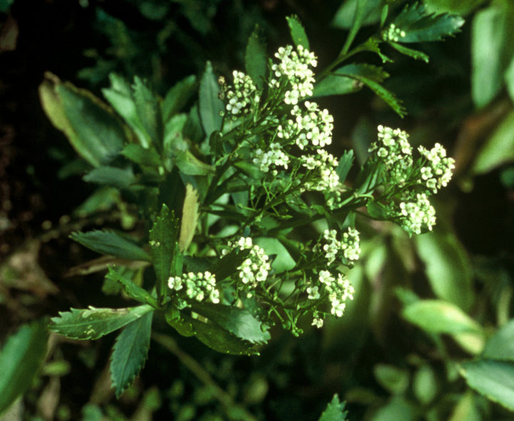 Cook's Scurvy Grass: Lepidium oleraceum
