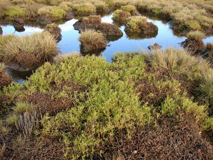 Salt herb and glasswort growing in a salt meadow on private land protected by Judith and Gary Shields.