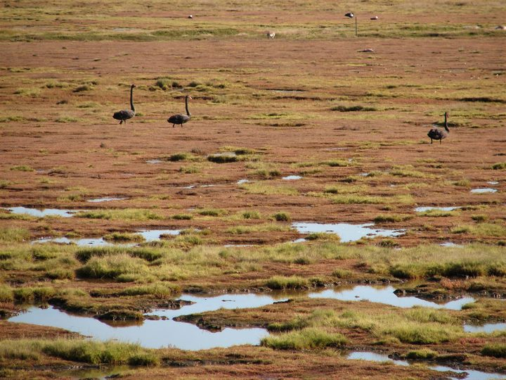 Salt meadow and visiting birds, seen from a viewing hide on the Shields' Karitane property, which is protected by a QEII covenant.