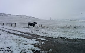 A bull in snow at Wedderburn.