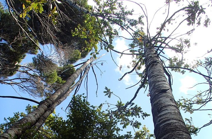 Dying kauri trees that are infected with kauri dieback disease.