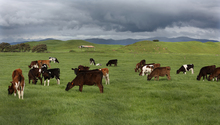 20131009. Photo Diego Opatowski / Radio NZ. Generic beef cattle in a field.
