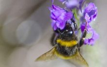 Bumblebees are vital pollinators.
