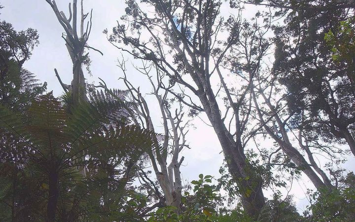 There are worries that visitors flout the rules in Waipoua forest, putting iconic trees like Tane Mahuta at risk of the fatal disease